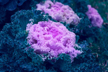 Ornamental Cabbage Bush With P...