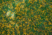 Background Of Fallen Yellow Tipuana Tree Flowers In Green Grass