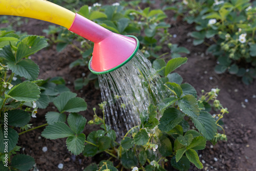 Fotografie, Obraz hand with watering can in greenhouse watering the strawberries