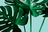 closeup monstera leaf on blue color background. minimal summer concept. flat lay