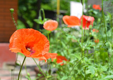 A Close Up On Papaver Rhoeas, Common Corn Poppy, Field Red Poppy Flowers Blooming In The Backyard Of The House In Summer.