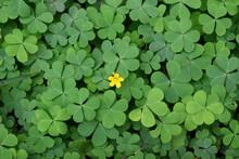 Yellow Oxalis Flower On Green ...
