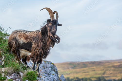 Obraz na plátně Wild Goat, Islay, Inner Hebrides, West Coast of Scotland