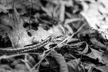 Small Eastern Gartersnake Is O...
