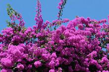 Purple Bougainvillea Flowers With Blue Sky