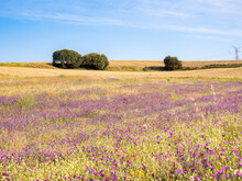 Natural Landscape Of A Blanket Of Purple Flowers Surrounded By Dry Yellow Grass And A Recently Mowed Area