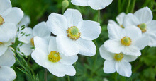 Anemone Hupehensis Japonica Do...