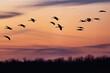 Sandhill cranes landing at sunset.