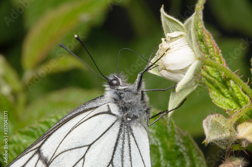 One pieris brassicae butterfly sits on the green branches of blooming raspberries. Macro photography of insects in the wild.