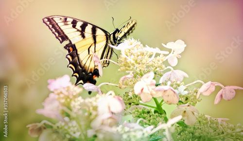 Yellow Swallowtail in hydrangea.