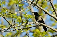 Common Grackle Male On Spring....
