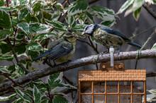 Adult Bluetit Feeding A Fledgeling From A Suet Bird Feeder
