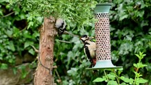 A Male Great Spotted Woodpecker Takes A Peanut From A Garden Bird Feeder And Flies Away