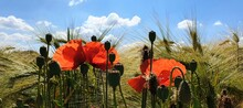 Poppy Flowers In Wheat Field