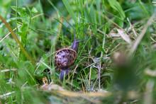 Snail Crawling Over Wet Grass ...