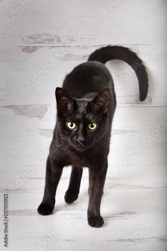 Black cat looking at the camera tail curled big cat eyes on a vintage white wood background