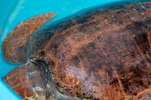 Loggerhead Turtle Recovering F...
