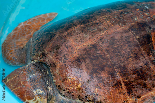 Fotografie, Obraz Loggerhead Turtle recovering from a marine related accident recover and release