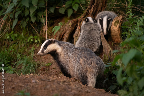 Cuadros en Lienzo European badger, meles meles, near your burrow