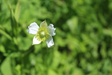Tall Thimbleweed Bloom At Somm...