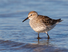 White-rumped Sandpiper (Calidr...