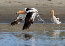 American Avocet (Recurvirostra Americana) Flying Over Water, Galveston, Texas, USA.
