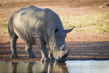 One Adult White Rhino Standing At Water's Edge And Drinking From A Dam In A Shade Of A Tree In Kruger Park South Africa
