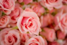 Close Up Macro Of Pink Majolic...