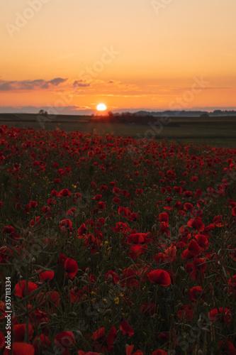 Fototapeta sunset over the poppy field obraz na płótnie