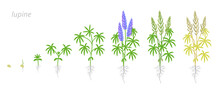 Blue Lupine Plant Growth Stage...