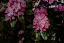 Closeup Shot Of Pink Azalea Flowers