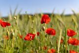Fototapeta Kwiaty - Mohnblumen