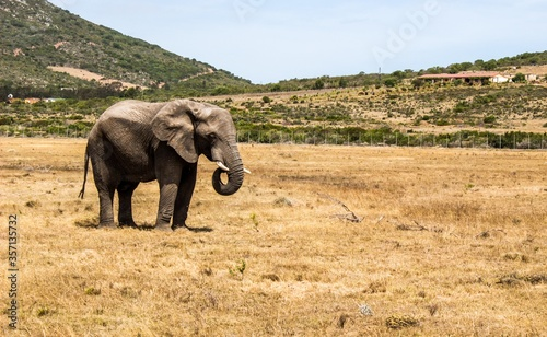 Horizontal shot of an elephant standing in savanna and some hills in the background