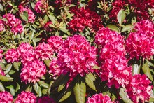 Bunches Of Tiny Pink Flowers G...
