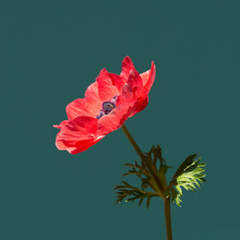 Beautiful Red Anemone Flower In Sunlight On Turquoise Background. Minimal Styled Square Card.