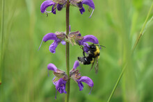 Bumble Bee On A Purple Sage Wi...