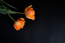 Two Orange Tulips On A Black B...