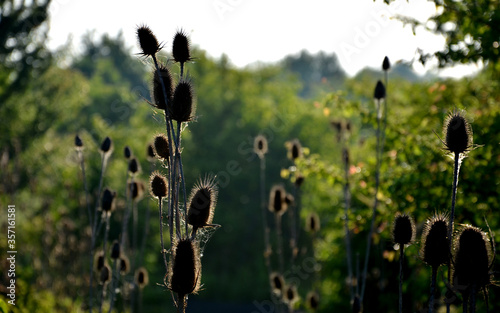 Valokuva Biennial, 70 to 200 cm tall herb