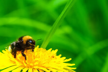 A Large Bee Sits On A Yellow Dandelion And Collects Flower Nectar For Honey.