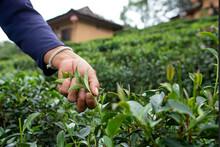 Ban Ruk Thai  Mae Hong Son Tea Farm