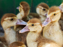 Cute Little Yellow Goslings, S...