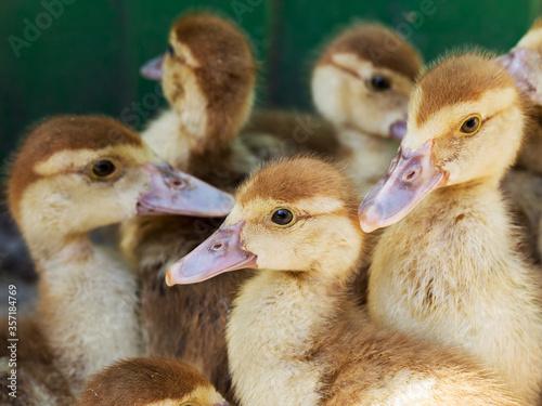 Cute little yellow goslings, selective soft focus Tableau sur Toile