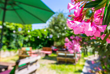 Pink Flowers Blooming With Blury Background. Background Image Of Interiors In A Countryside Cafes In Caucasus Region. Georgia. 2020