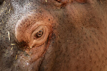 Closeup Of An Eye Of A Hippopo...
