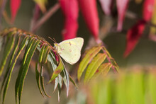 A Clouded Sulphur Butterfly Pe...