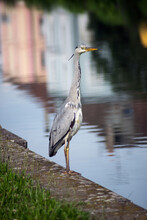 Portrait Of Heron Standing In Border Water In The City With Reflect