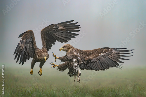 A pair of battling White tailed eagles (Haliaeetus albicilla) appear to be performing karate mid-air Fototapet