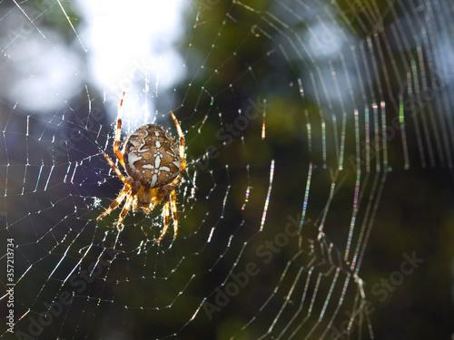 diadem spider - Araneus diadematus Canvas Print