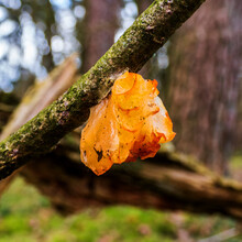 Close Up Of Yellow Trembler Fungus (Tremella Mesenterica) Common Names Include Yellow Brain, Golden Jelly Fungus And Witches' Butter