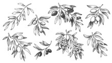Engraved Olive Branch. Sketch ...